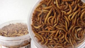 *Bugs Tribolos meelwormen l Delibugs