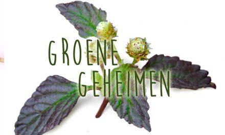 Groene geheimen: Azteeks Zoetkruid