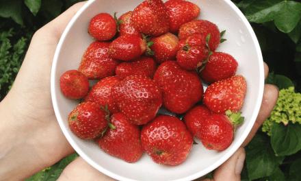 Kweken met de kids: Aardbeien
