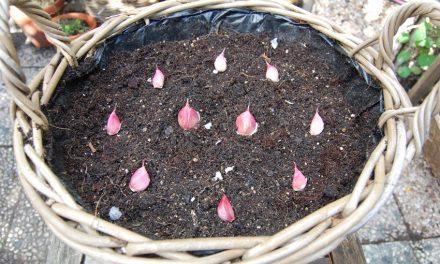Knoflook kweken in een pot!