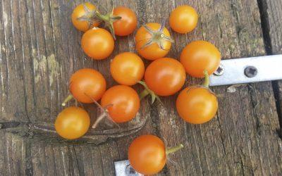Passie voor tomaten