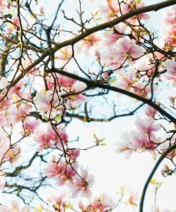 Wildplukken Magnolia 4