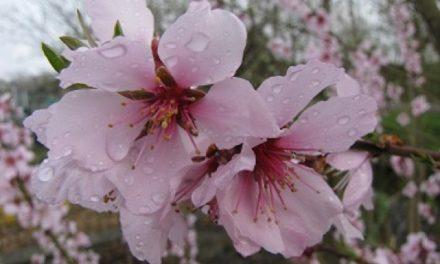 Amandel Robijn: Een sieraad voor de tuin!