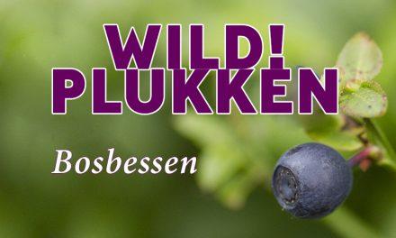 Wildplukken: Bosbessen, lekker en gezond