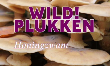 Wildplukken: Honingzwam