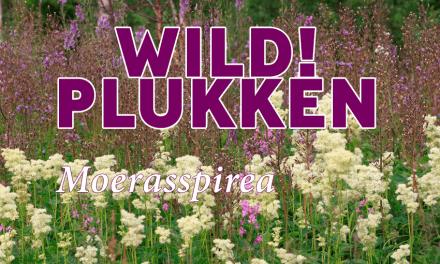 Wildplukken: Moerasspirea