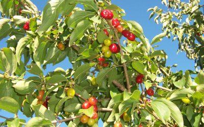 Romke van de Kaa: Kornoelje, de vergeten vruchten