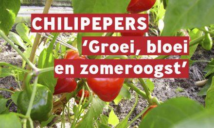 Chilipepers: groei, bloei en zomeroogst