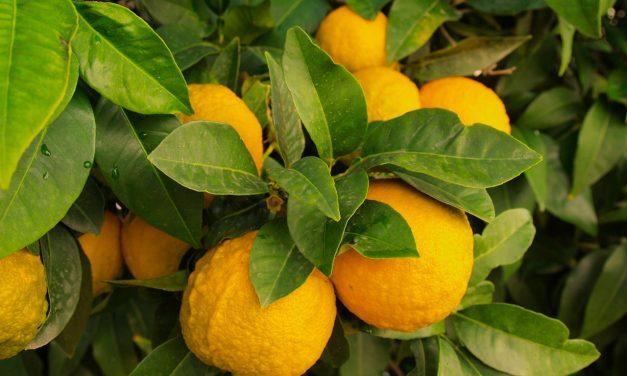 Romke van de Kaa: Kamersinaasappel