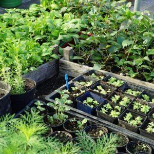 opkweek van plantgoed