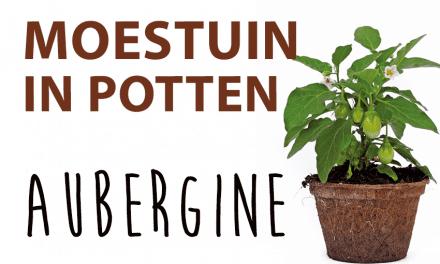 Moestuin in potten: Aubergine