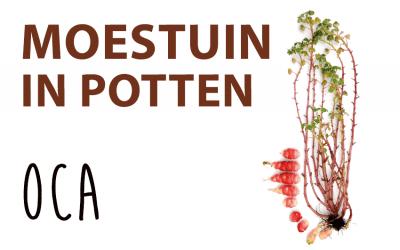 Moestuin in potten: Oca