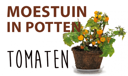 Moestuin in potten: Tomaten