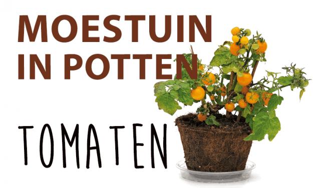 Moestuin in potten: Tomaten
