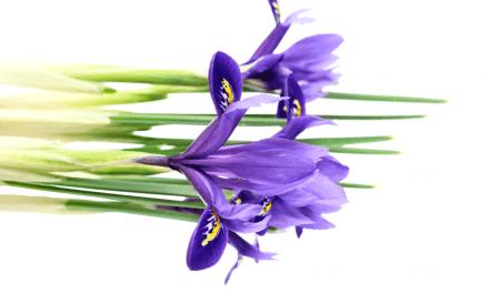 Romke van de Kaa: De iris, klein maar dapper