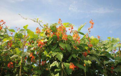 Pronkbonen – Kleurige klimmers