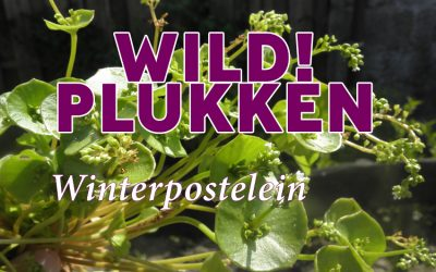 Wildplukken: Winterpostelein
