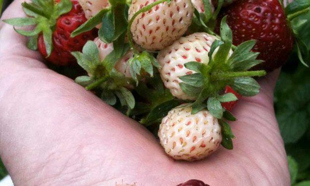 Groots genieten met klein fruit