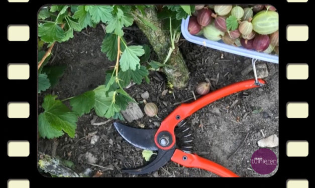 Vlog: Bessen snoeien – Bessen oogsten