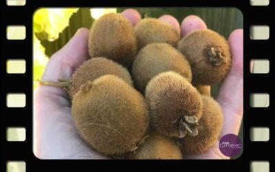 Kiwi – van bloei tot oogst