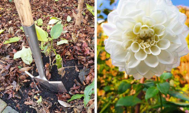 Moestuintips van Floor Korte – Dahlia's rooien – stappenplan